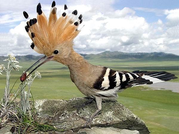 Удод стал важной птицей.