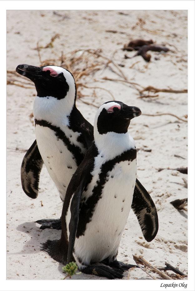 African penguin Rocky Shores Birds Spheniscus demersus