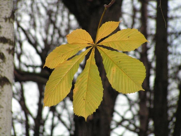 Каштан листья картинки