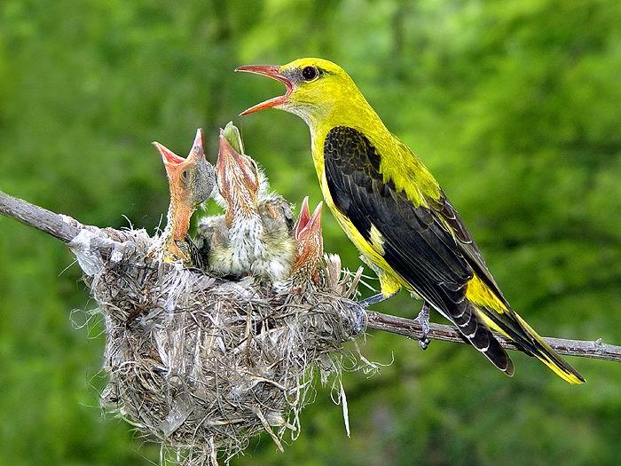 Иволга мама и гнездо.  Окраска иволги - мамы...
