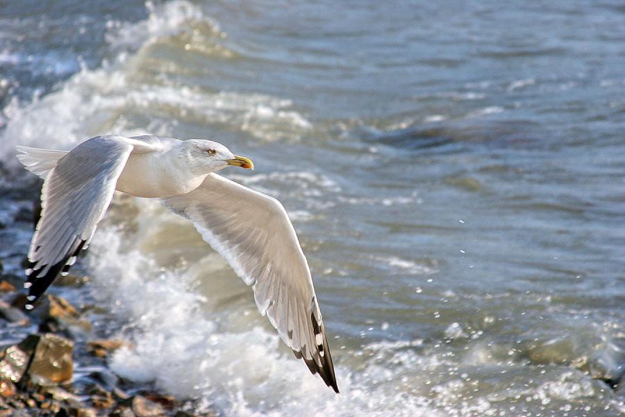 свидетельства фото морских чаек в полете украшенная