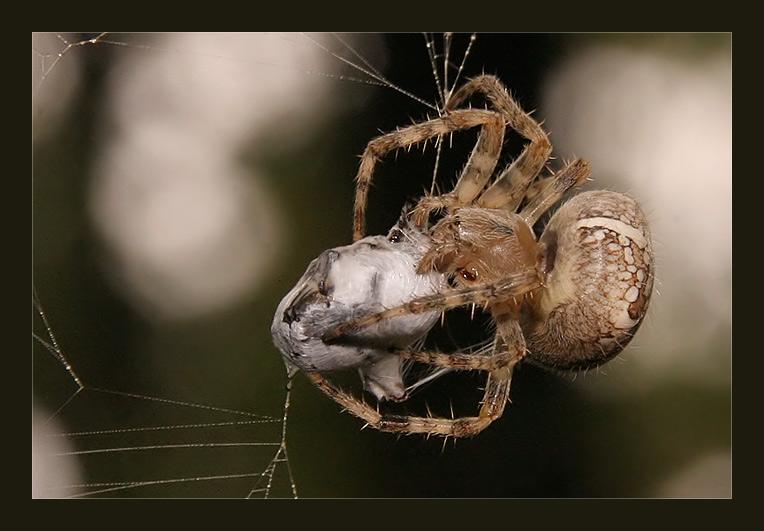 Prada сколько яиц откладывает паук-крестовик Heaven