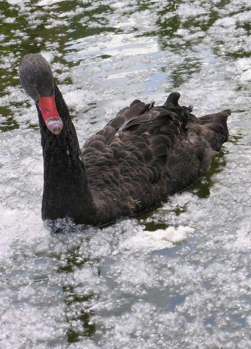нашествие черный лебедь фото мотор, это
