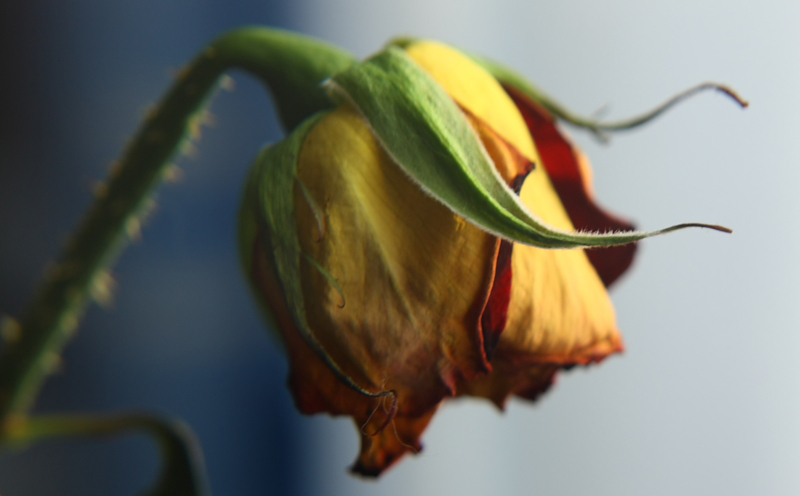 Фото увядающего цветка