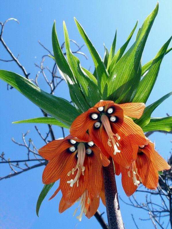 Царская корона цветок фото