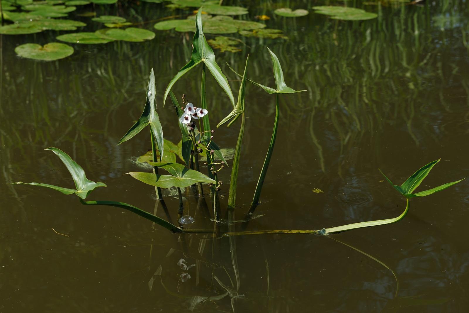 Картинки растение стрелолист