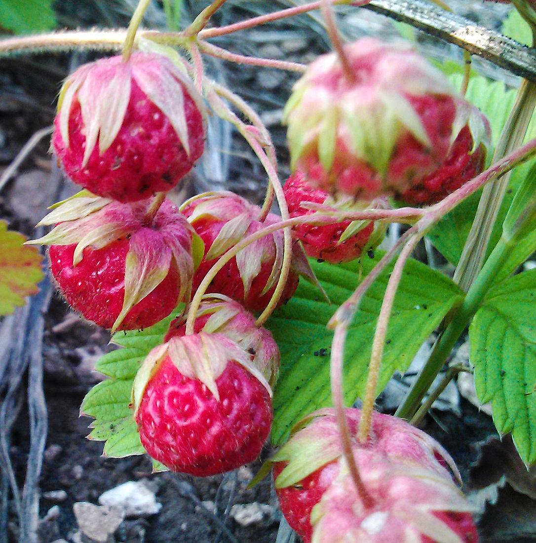 ягоды башкирии фото материала, устойчивость перед
