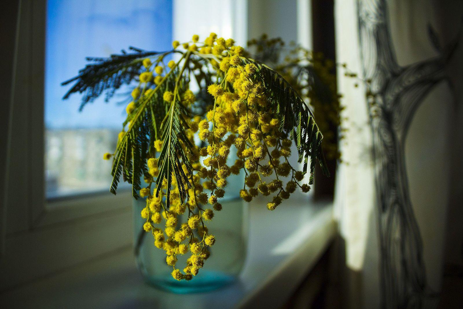 веточка мимозы фото цветка отмечают наш новый
