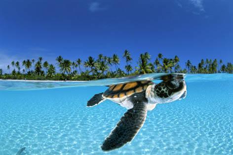 Зеленая черепаха плывет на глубину в поисках безопасного пристанища. Острова Туамоту<br />(c) David Doubilet/ DavidDoubilet.com