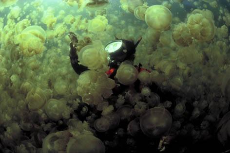 Доктор Уильям Хамнер окружен облаком медуз Mastigias в озере Медуз. Остров Палау, Микронезия<br />(c) David Doubilet/ DavidDoubilet.com
