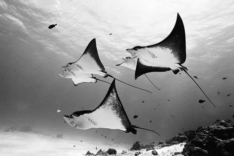 Группа пятнистых орляков (род семейства скатов) скользит по течению. Остров Сайпан, Северные Марианские острова<br />(c) David Doubilet/ DavidDoubilet.com