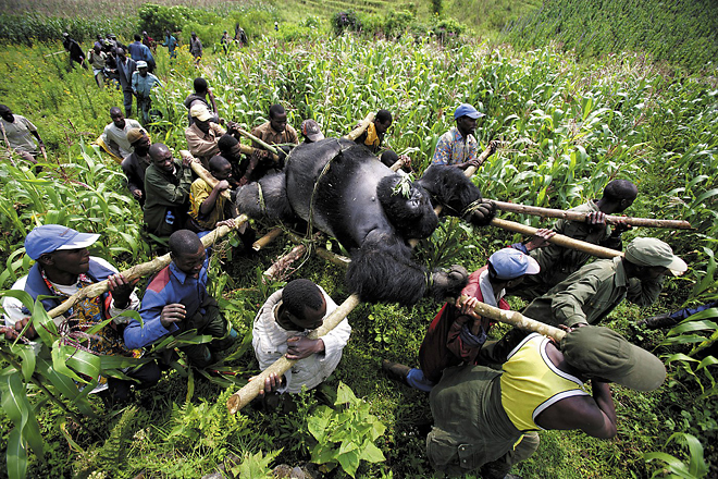 1st prize Contemporary Issues Singles<br /> <b>Brent Stirton</b>, South Africa, Reportage by Getty Images for Newsweek<br /> <i>Evacuation of dead Mountain Gorillas, Virunga National Park, Eastern Congo</i>