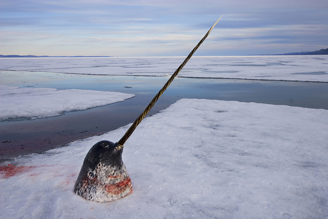 2nd prize Nature Stories<br /> <b>Paul Nicklen</b>, Canada, National Geographic Magazine<br /> <i>Arctic ivory – hunting the narwhal, Nunavut, Canada</i>