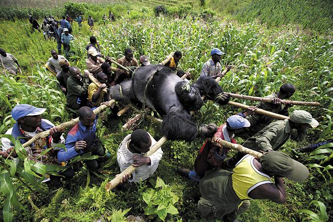 <p><nobr>1-е</nobr> место / Проблемы современности / одиночные фотографии<br /> <b>Брентон Стёртон (Brent Stirton),</b> Южная Африка, Reportage by&nbsp;Getty Images для Newsweek<br /> Эвакуация мертвых горных горилл, Национальный парк Вирунга, Восточное Конго</p>