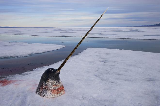 <p><nobr>2-е</nobr> место / Природа / серии<br /> <b>Пол Никлен (Paul Nicklen), </b>Канада, National Geographic Magazine<br /> Арктическая слоновая кость— охота нанарвала, Нунавут, Канада</p>
