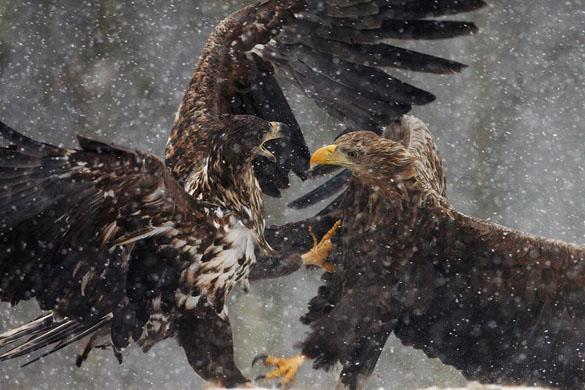 Clash of eagles – Antoni Kasprzak, Poland. Winner, behaviour – birds