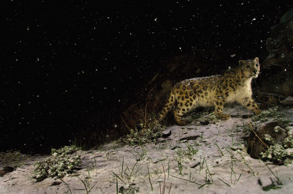 Snowstorm leopard – Steve Winter, USA. Wildlife photographer of the year and winner of the Gerald Durrell award for endangered wildlife