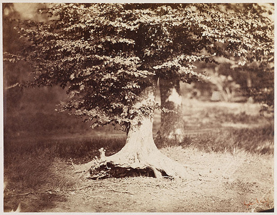 Буковое дерево<br>Густав Ле Грей<br>Франция, 1856 г. Альбуминовый отпечаток