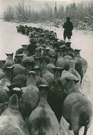 <p><i>538234</i><br /> [Стадо овец зимой]. 1960.</p>