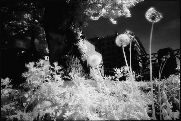©Борис Смелов. «Одуванчики. 1995»