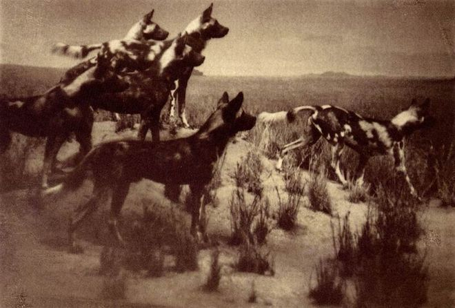Anita Chernewsky. African dogs. 1995. Van Dyke print. 9x11 cm