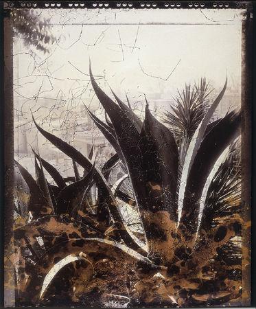 Agave ferox, 1988. © Joan Fontcuberta