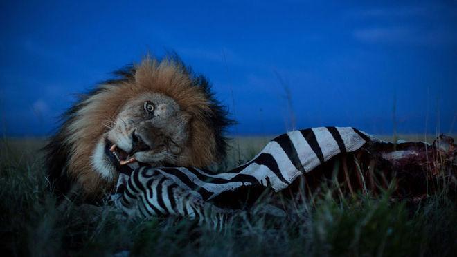 Майкл Николс / Журнал National Geographic. Национальный парк Серенгети, Танзания, 2012 г.