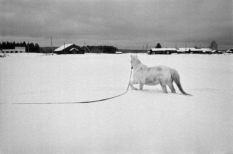 ©Эмиль Гатауллин. «Белая лошадь. Деревня Усть-Выйская, Архангельская область, 2011»