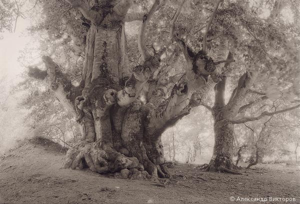 ©Александр Викторов. «Старые деревья»