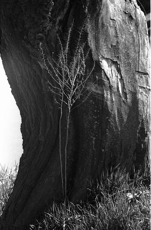 ©Дашевский Михаил Аронович. «Кора с веткой. 1980-e»